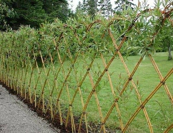 Конструирование из растущей ивы В качестве живого забора хорошо смотрится ива остролистная, которую все привыкли называть вербой или красноталом. Кроме того, садоводы часто выращивают иву