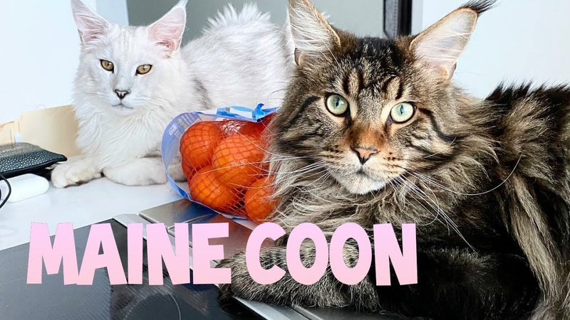 Maine Coon : So Big But Lovely And Sweet Cat